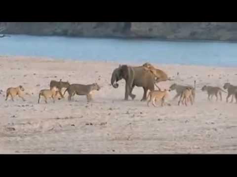 Слоненок не сдался...