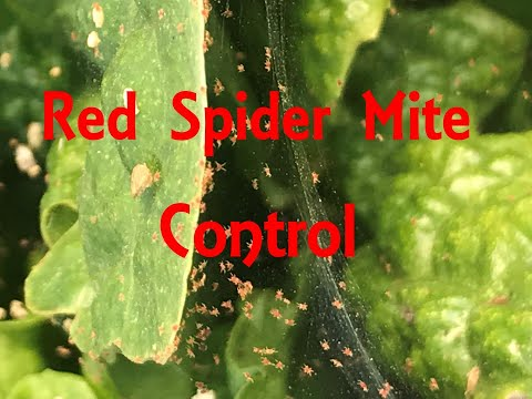 Combating Red Spider Mites With Swirksi-Ultimite