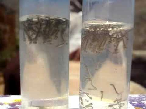 Larvas Anopheles y Culex