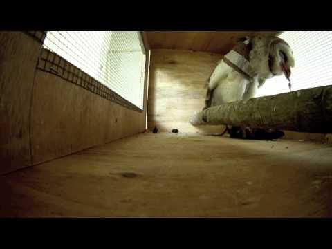 Barn Owl taking a rat