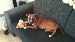 Dozer Balvanie 5,5 Month Old Staffordshire Bullterrier Playing On Couch