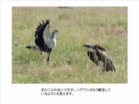 Battle Secretary Bird VS Vulture バトル ヘビクイワシ VS ハゲワシ