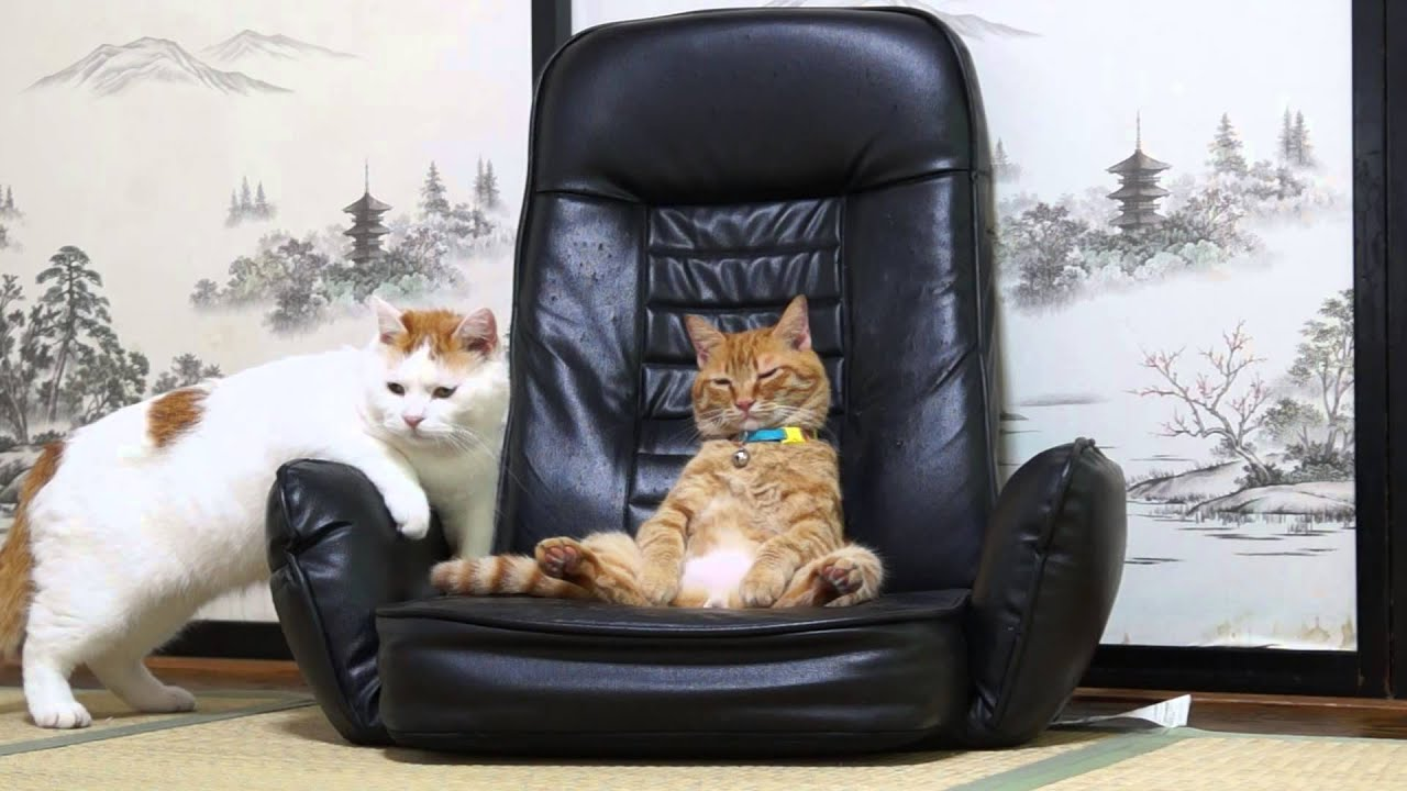 Cat Sitting In A Chair 20151 Youtube