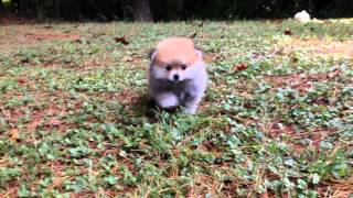 For Sale: Ckc Pomeranian Pups (annie & Prince Litter)
