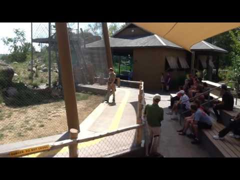 African Lion Training Demonstration Omaha's Henry Doorly Zoo & Aquarium