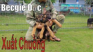 GSD | Xuất chuồng chó becgie đức con thuần chủng hậu duệ Remo.