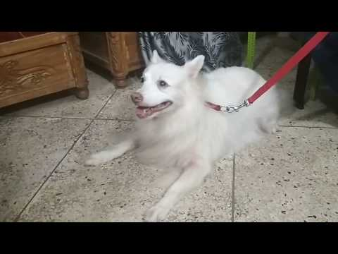 Spitz dog vaccination @ Dr. Sagir's Pet Clinic 01912251312