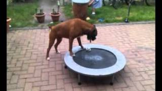 Boxer On Trampoline