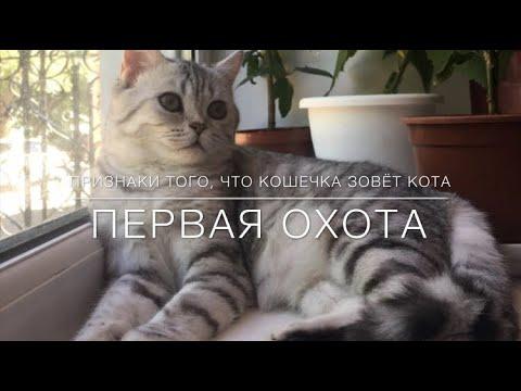 Как понять что у кошки течка британская