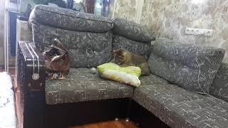 Камышовый кот дома