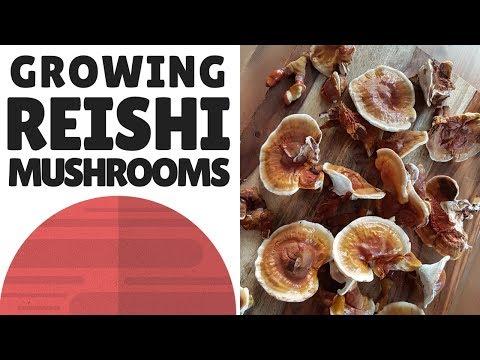 Growing Reishi Mushrooms At Home