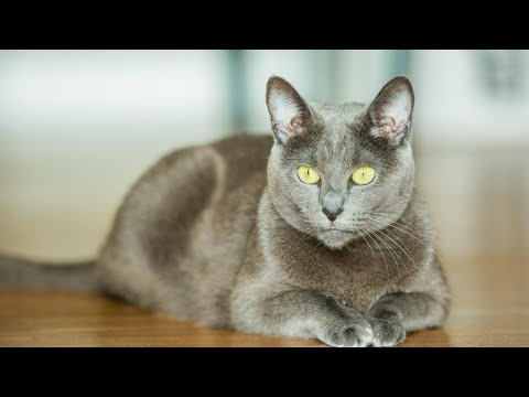 BEST OF RUSSIAN BLUE CAT BREED | The Archangel Blue Cat