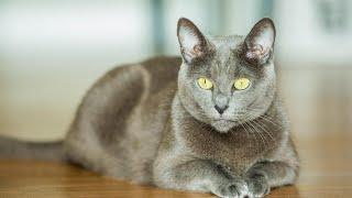BEST OF RUSSIAN BLUE CAT BREED   The Archangel Blue Cat