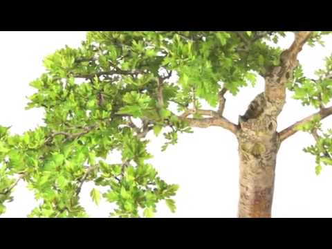 Specimen hawthorn bonsai tree white flowers and red berries od2174 specimen hawthorn bonsai tree white flowers and red berries od2174 mightylinksfo