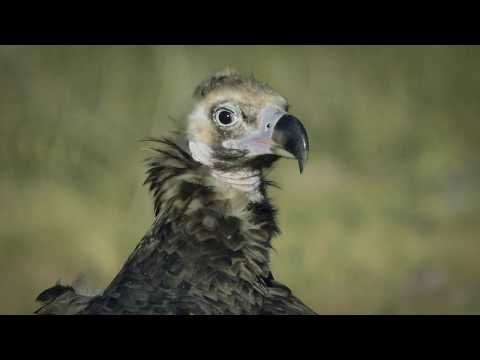 Vultures: an ecosystem service in motion