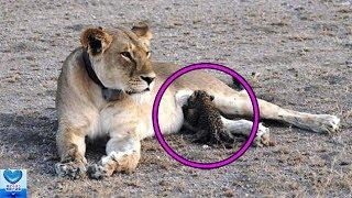 メスライオンが抱えていたのはヒョウの赤ちゃんでした。世話をする姿に...