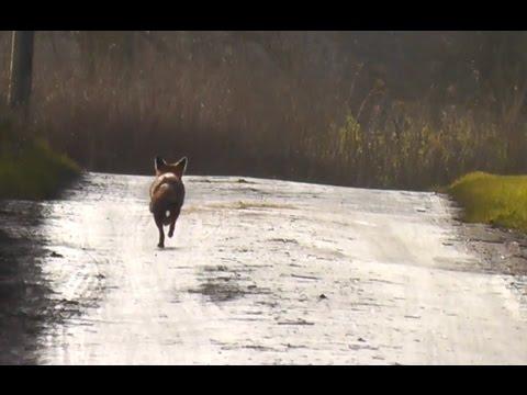 Illegal Fox Hunting? Grafton Hunt