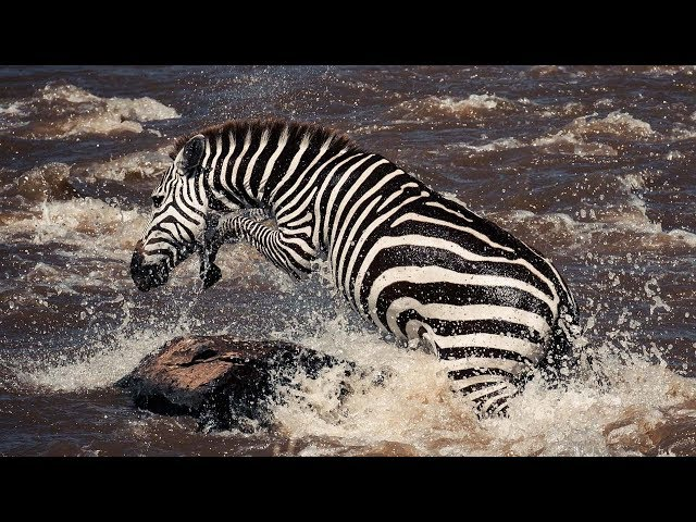 Young Zebra's Dangerous River Crossing | Life Story | BBC Earth