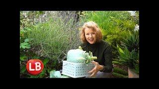 Cabbage Reveal & Harvest, Pests, Coleslaw   Vlog