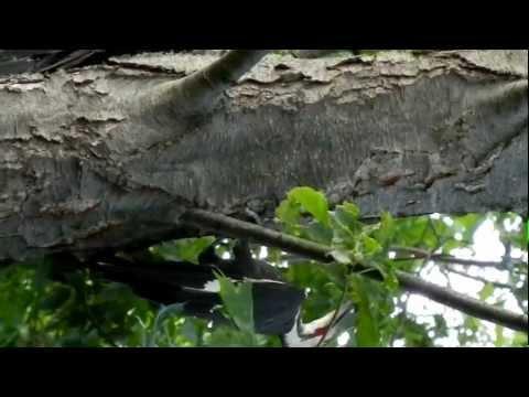 Pileated Woodpeckers in Halfmoon NY