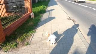 Sztuczki Shih tzu Daisy Spacer z psem