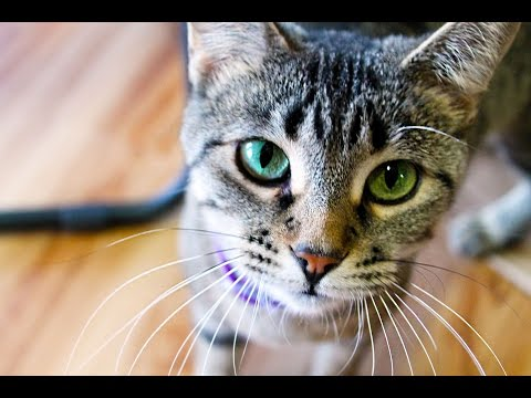 Cat Meowing: Free Sound Effects - Download