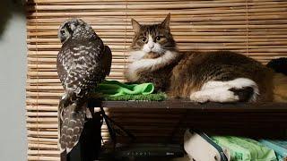 Знакомство совы Ивы с мышами под присмотром кота Мурлока
