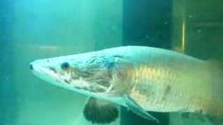 arapaima gigas (World Largest Fresh Water Fish)