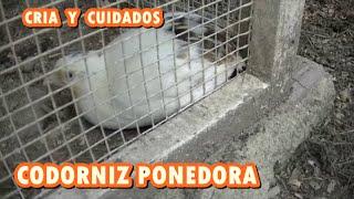 CRÍA DE CODORNIZ PONEDORA Y CUIDADOS