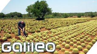 Verrückte Jobs auf Mallorca | Galileo | ProSieben