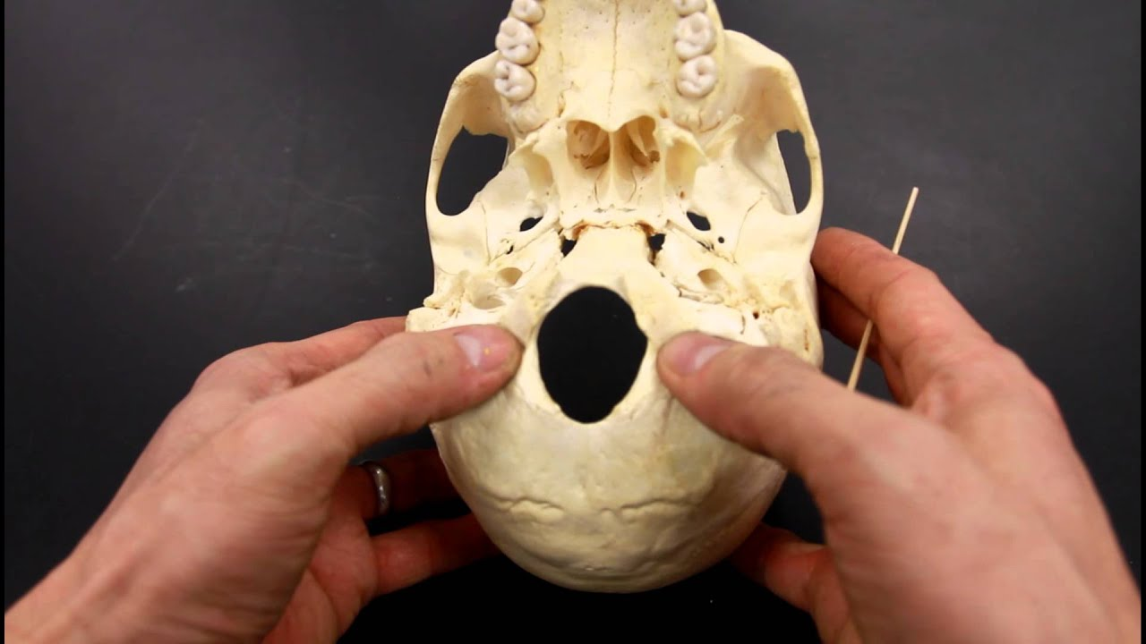 SKELETAL SYSTEM ANATOMY: Inferior aspect of the human skull - YouTube