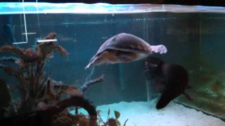 Feeding my flying river turtle / pig-nosed turtle