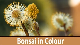 164) Flowering Bonsai Trees for Beginners,  Japanese Maples, Spirea, Pussy Willow, Colourful Bonsai
