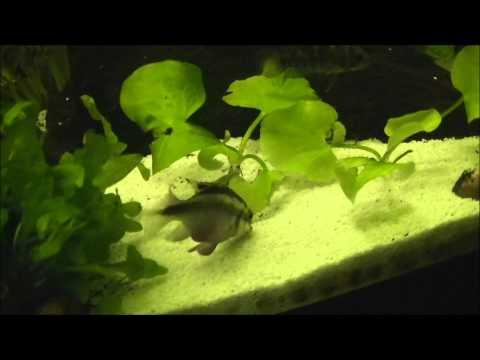 Great Beginner Fish - Kribensis Cichlids