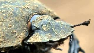 Dung beetle rolling its ball on hot ground
