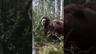 Верблюд в лесу