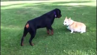 'scary Movie'rottweiler  Playing With Corgi