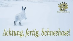 Wildlife Insights   Achtung fertig Schneehase!   Alpine Mountain Hare   Schneehuhn