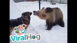 Bear and Dog Playing in the Snow || ViralHog