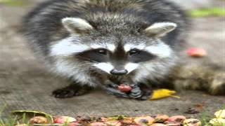 Army of Nazi raccoons force Germans to admit defeat.. Thumbnail