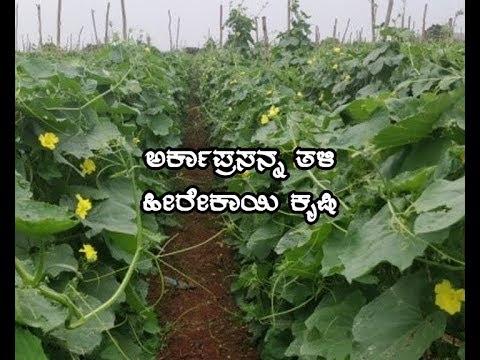 Arka Prasanna Ridgegourd cultivaton-ಅರ್ಕಾಪ್ರಸನ್ನ ತಳಿ ಹೀರೇಕಾಯಿ ಕೃಷಿ