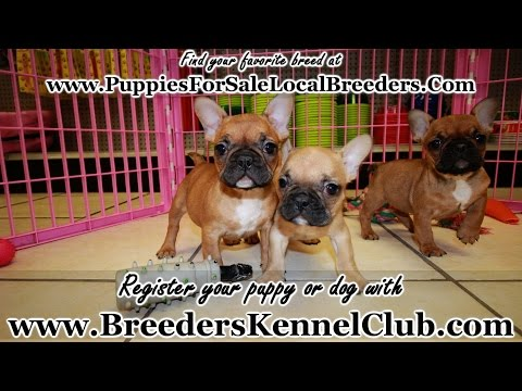 French Bulldog, Puppies For Sale, In Mobile, County, Alabama, AL, 19Breeders, Tuscaloosa, Decatur