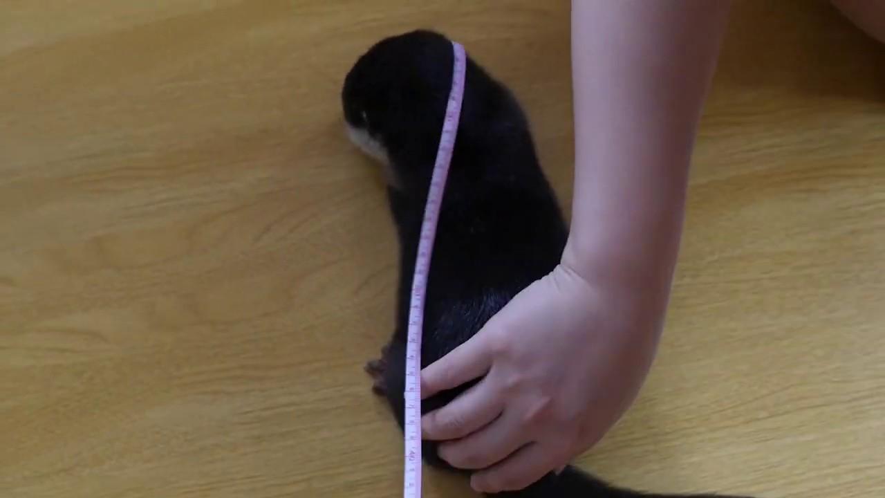 ママがカワウソのビンゴの体長を測ろうとするが Mom try Measuring Otter Bingo's height