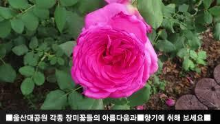 금잔디[신사랑고개36탄]ㅡ울산대공원장미원야간개장기념장미…
