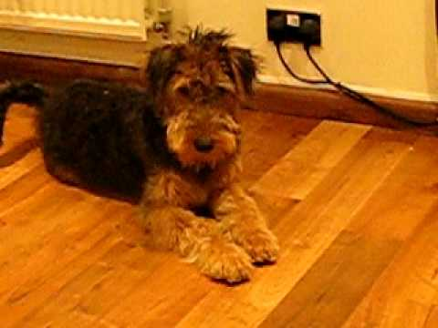 Jack the Airedale Terrier - Dog Obedience