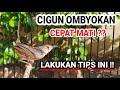 Tips Merawat Cigun Hasil Ombyokan  Mp3 - Mp4 Download