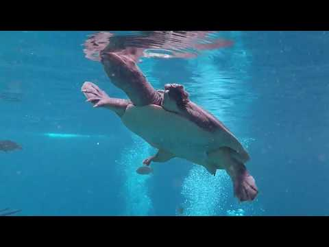 Blue Grotto Springs - Virgil the Turtle!