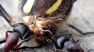 Муравьи едят стрекозу