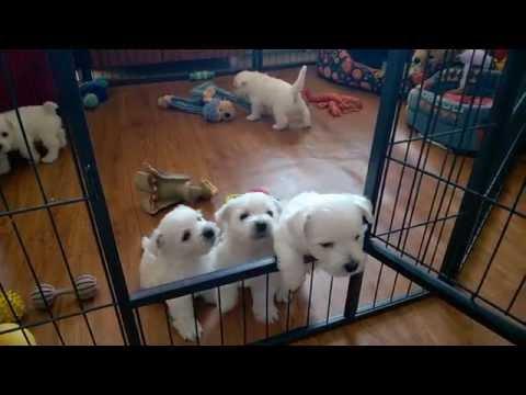 Westie Puppies West Highland White Terrier 2015 Adamantinacorda