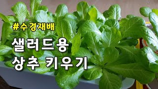 [수경재배] 샐러드용 상추 키우기(스위스 블론드 상추)